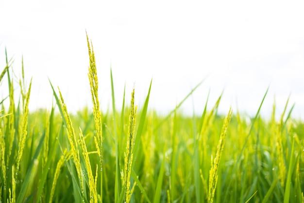 Świeże zielone pola ryżowe na polach zapuszczają ziarno na liście kroplami rosy