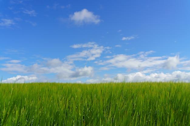 Świeże zielone pole i błękitne pochmurne niebo