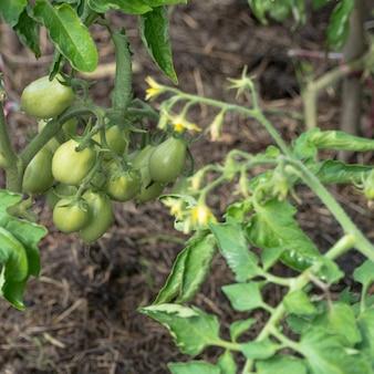Świeże zielone pomidory na gałęzi w ogrodzie