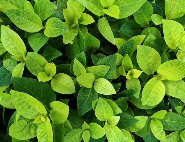 Świeże zielone tło liści liści