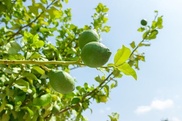 Świeże zielone wapno owoc na gałąź przy zielonym drzewem przeciw niebieskiemu niebu