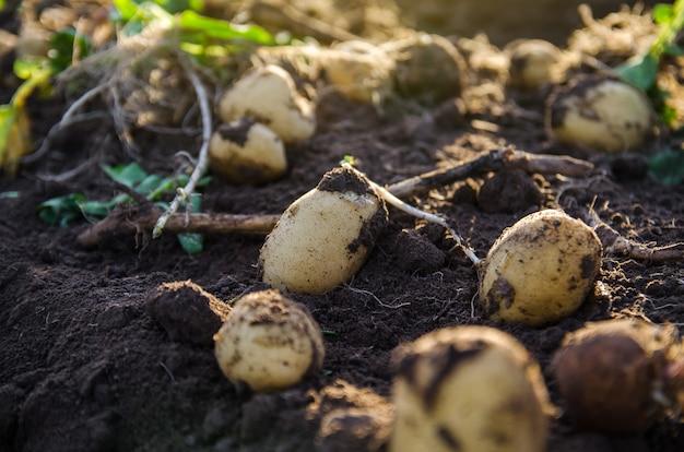 Świeże ziemniaki na ziemi świeżo wykopane organiczne warzywa ziemniaczane leżą na wilgotnej luźnej ziemi z blatami