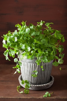 Świeże zioła kolendry w doniczce