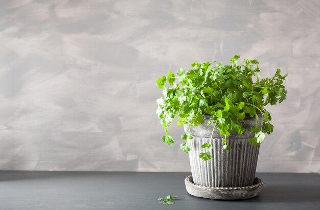 Świeże zioło kolendry w doniczce
