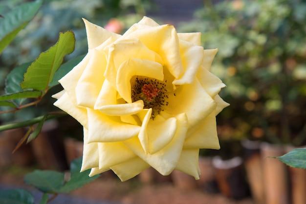Świeże żółte róże w zielonym pogodnym ogródzie