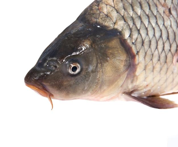 Świeże żywe ryby są izolowane na białym tle