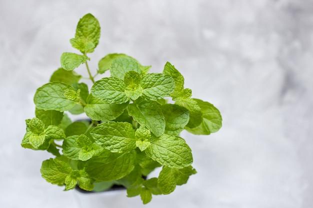 Świeżej mięty rośnie w doniczce na jasnoszarej ścianie. świeży składnik w kuchni do gotowania. selektywne ustawianie ostrości, widok z góry, kopia przestrzeń