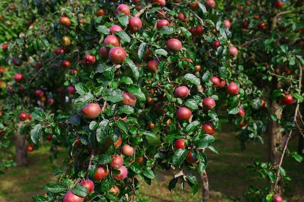 Świezi dojrzali jabłka na drzewie w lecie uprawiają ogródek. zbiory jabłek
