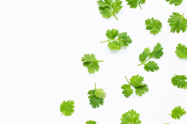 Świezi kolendrowi liście na białym tle.