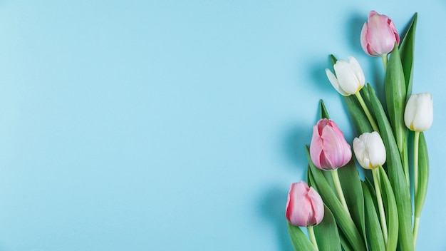 Świezi różowi i biali tulipany nad błękita gładkim tłem