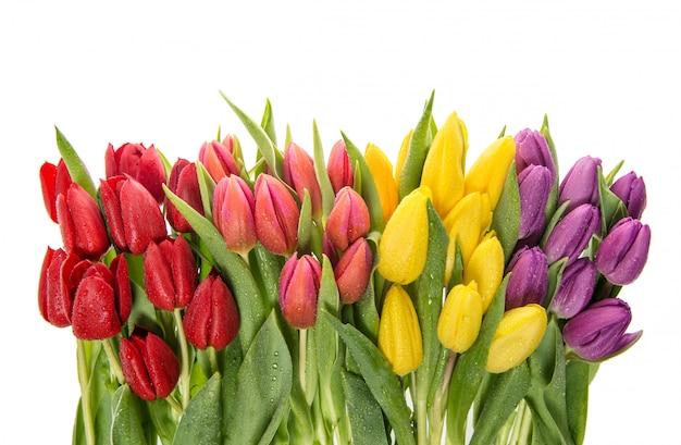 Świezi tulipany nad białym tłem. wiosenne kwiaty