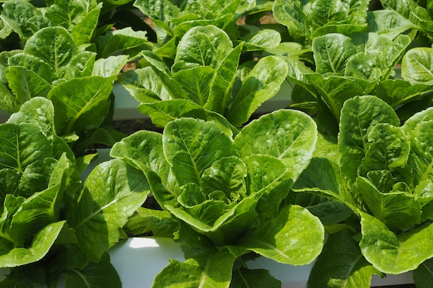 Świezi zielonej sałatki costa warzywa w jarzynowym ogródzie dla tła