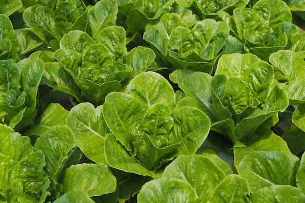 Świezi zielonej sałatki costa warzywa w jarzynowym ogródzie