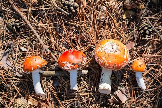 Świeżo pokrojony muchomor na leśnych igłach w słońcu. zbiór grzybów do mikrodozowania. medycyna alternatywna