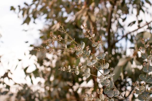 Świeżo ścięte gałęzie eukaliptusa baby blue w greckim sklepie z kwiatami w październiku. pionowy. zbliżenie.