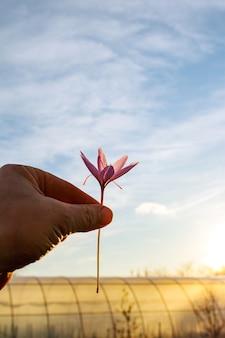 Świeżo ścięty kwiat szafranu w ręku człowieka. fioletowy krokus kwiat z czerwonymi pręcikami.
