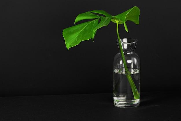 Świeżo ścięty liść monstera na czarnym tle. kreatywne zdjęcie
