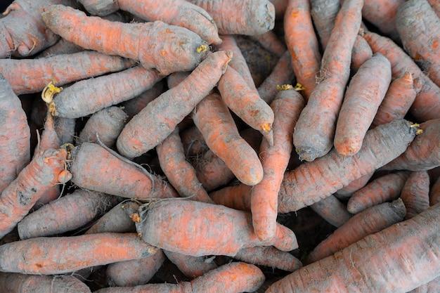 Świeżo wykopane naturalne marchewki w piasku