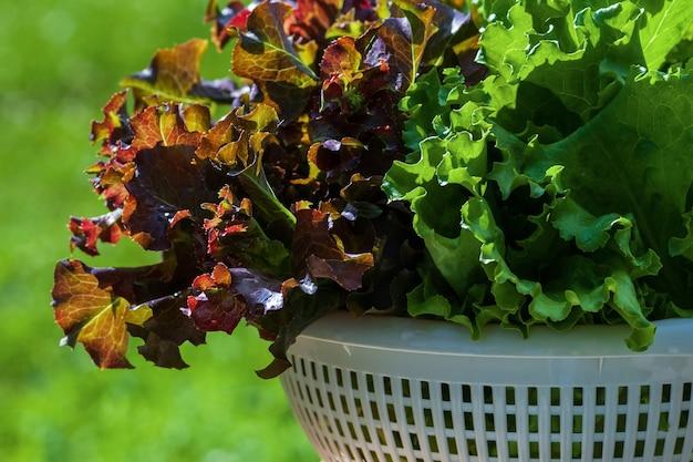 Świeżo zebrana sałata liściasta zielony i czerwony w zbliżenie z tworzywa sztucznego durszlak
