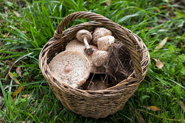 Świeżo zebrane grzyby z tutejszego lasu