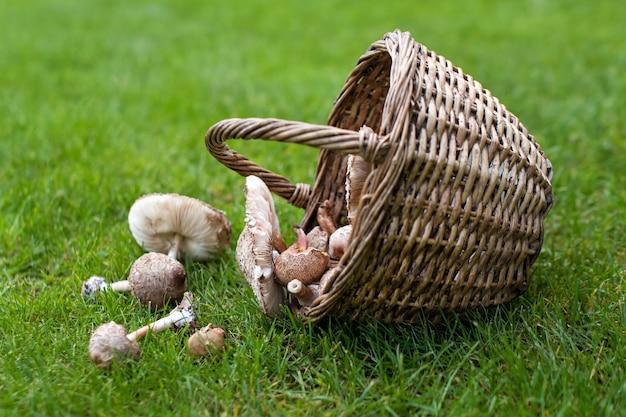 Świeżo zebrane grzyby z tutejszego lasu.