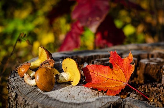 Świeżo zebrane oleiste grzyby w dzikim lesie leżącym na pniu z kolorowymi jesiennymi liśćmi