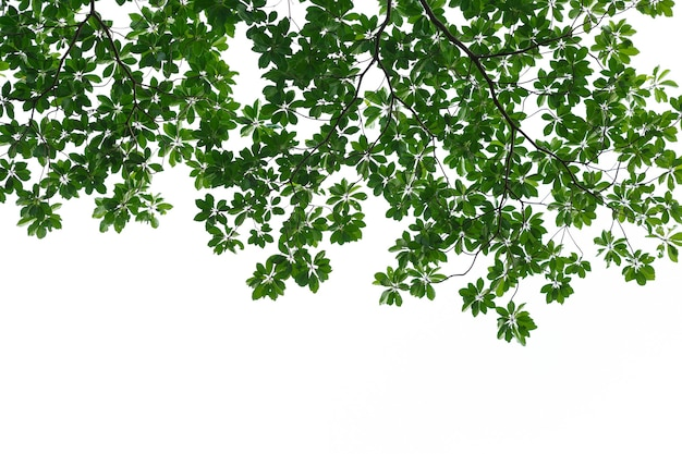Świeżość zielonych liści na białym tle
