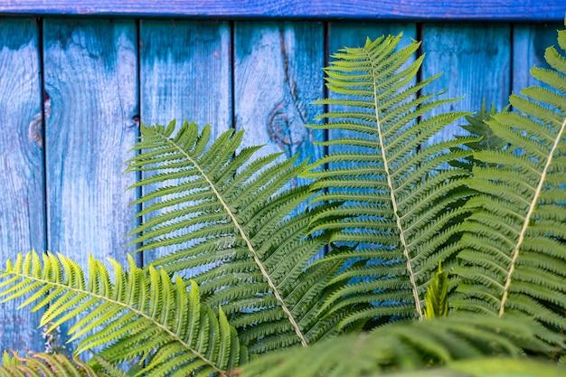 Świeżość zielonych liści paproci na niebieskim tle drewnianych. minimalizm, fotografia pozioma.