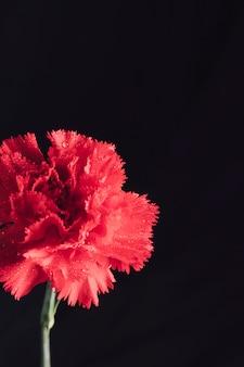 Świeży aromatyczny czerwony kwiat w rosie