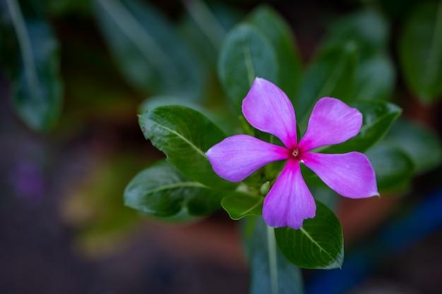 Świeży cayenne jaśmin kwiat i liść tajskie zioła
