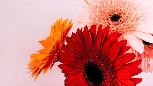 Świeży delikatny gerbera kwitnie przeciw różowemu tłu