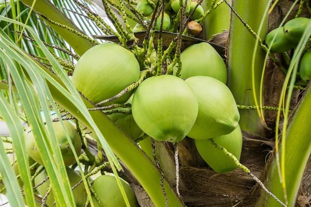 Świeży kokosowy klaster na kokosowym drzewie