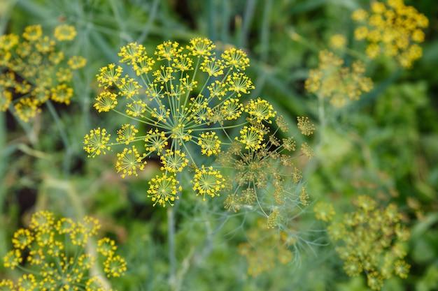 Świeży koperek rośnie na podłożu warzywnym. anethum graveolens.