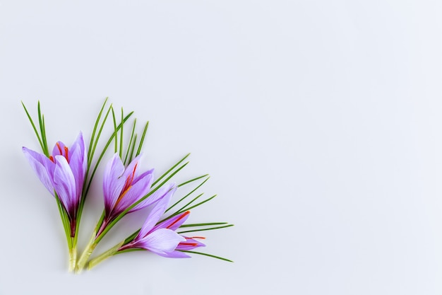 Świeży kwiat i liście szafranu na białym tle. miejsce na twój tekst. wykorzystanie przyprawy szafranowej w kuchni i kosmetologii.
