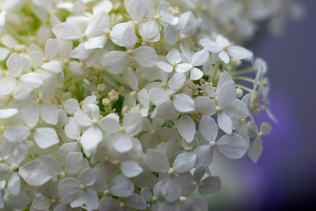 Świeży kwiat jaśminu. zbliżenie