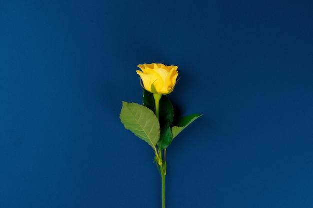 Świeży kwiat na klasycznym błękitnym tle, kopii przestrzeń, odgórny widok