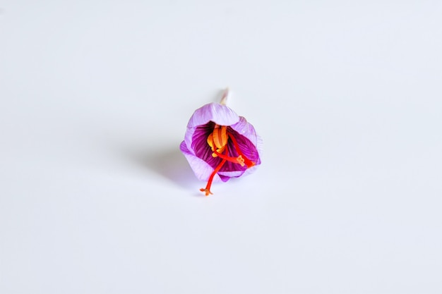 Świeży kwiat szafranu na białym tle.