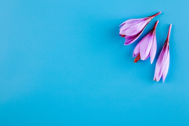 Świeży kwiat szafranu na niebieskim tle.