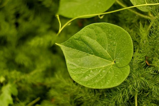 Świeży liść pnącza geloy