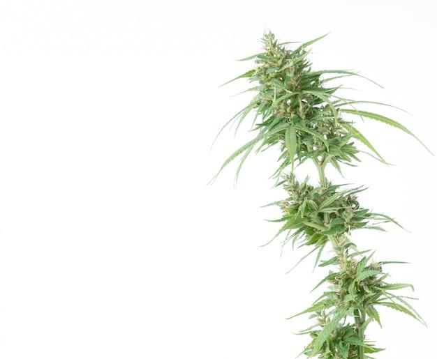 Świeży marihuana kwiat odizolowywający
