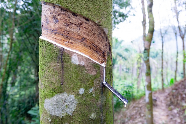 Świeży mleczny lateks ekstrahował kroplę wody z drzewa kauczukowego w plastikową miskę, tajlandia.