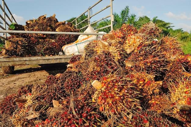 Świeży owoc oleju palmowego z ciężarówki.