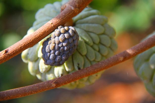Świeży owoc soursop zwisający z gałęzi drzewa