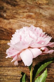 Świeży piękny peonia kwiat
