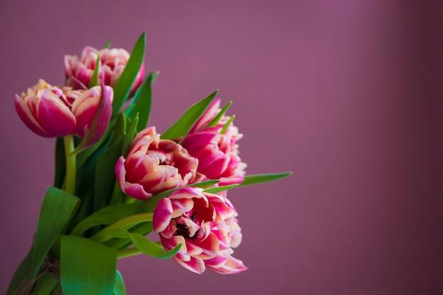 Świeży piękny różowy tulipanowy bukiet na purpurowym tle. kartka wielkanocna.