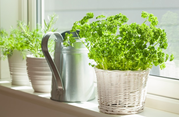 Świeży pietruszki ziele w białym garnku na okno