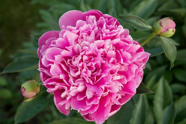 Świeży różowy kwiat piwonii w letnim ogrodzie