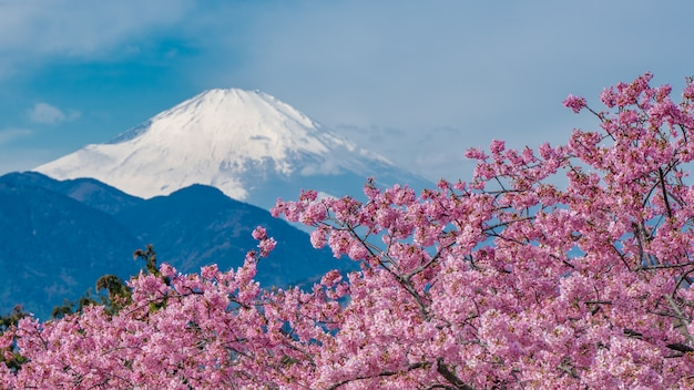 Świeży sakura kwiat z fuji mountain tle