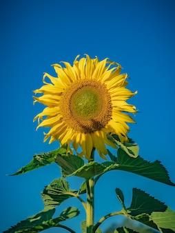 Świeży słonecznik z żywym niebieskiego nieba tłem