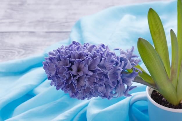 Świeży wiosna hiacyntowy kwiat w kubku